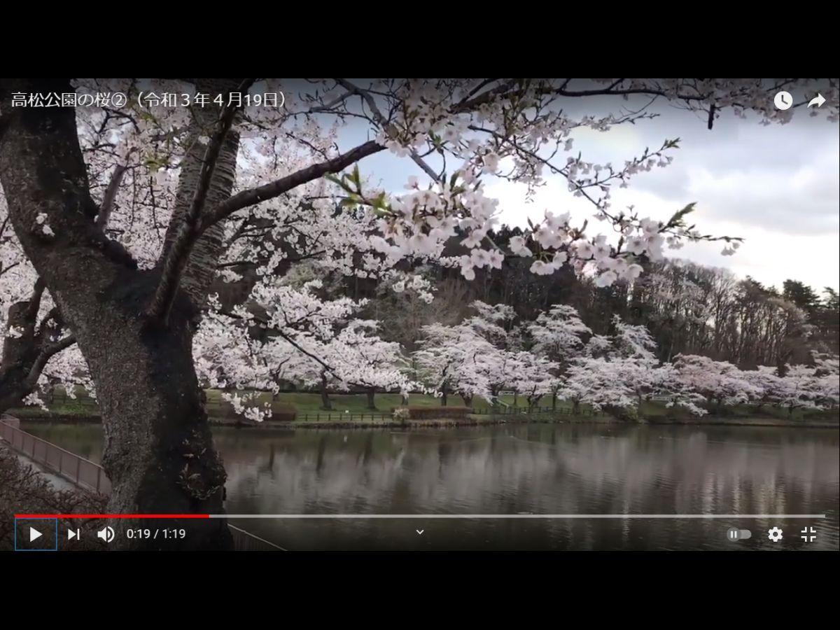 盛岡市のユーチューブ公式チャンネルより4月19日の高松公園の桜の様子