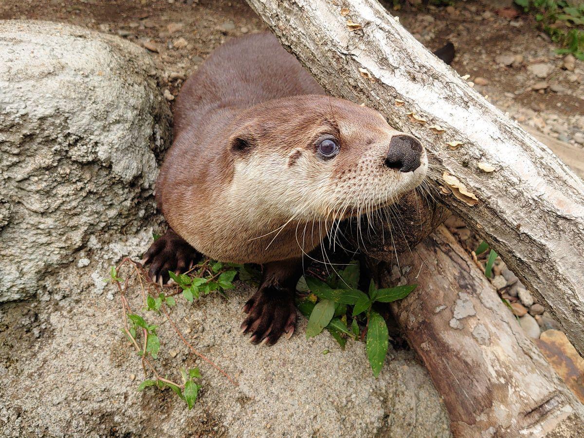 木の下からひょこっと顔を出すリッキー(8月31日撮影)盛岡市動物公園ZOOMO提供