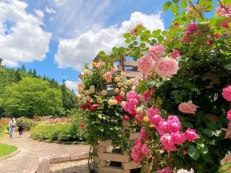 滝沢市総合公園の「バラ園」見頃に 3000本、華やかに香る