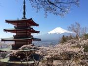 富士吉田の新倉浅間神社、桜が見頃に