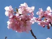 御殿場高原時之栖で河津桜が見ごろ-富士山との競演も