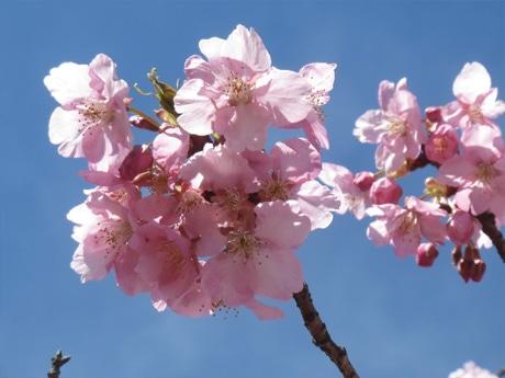 開花した河津桜