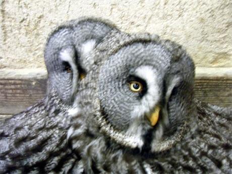 2羽で抱卵するカラフトフクロウ
