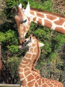 富士サファリパークでキリンの赤ちゃんが人気に すでに身長2メートル超え