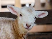 まかいの牧場でヒツジ出産ラッシュ 運が良ければ出産シーン見学も