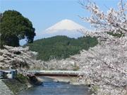 富士宮・稲瀬川沿いで「内房たけのこ桜まつり」 富士山と桜の競演も