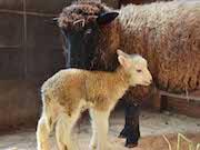 まかいの牧場でヒツジの赤ちゃん誕生 出産ラッシュ、命名権企画も