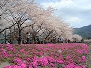 「富士・河口湖さくら祭り」今年も開催へ 夜桜ライトアップも
