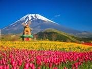 富士山2合目で「天空のチューリップ祭り」 チューリップ21万本が彩る