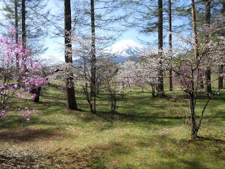 河口湖で「富士桜ミツバツツジ祭」 富士山との競演も