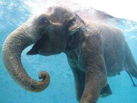 水中を泳ぐアジアゾウ