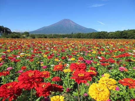 100万本の百日草畑