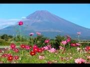 裾野市で「富士山すそのパノラマロード・コスモスまつり」 ステージ企画も