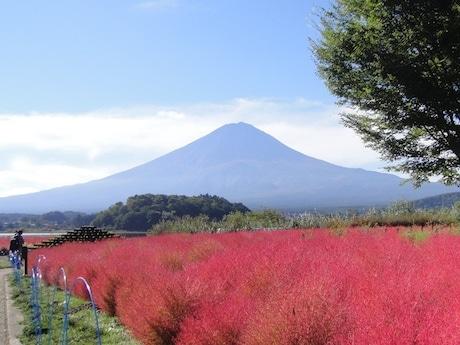 富士山と、見頃を迎えたコキアの紅葉