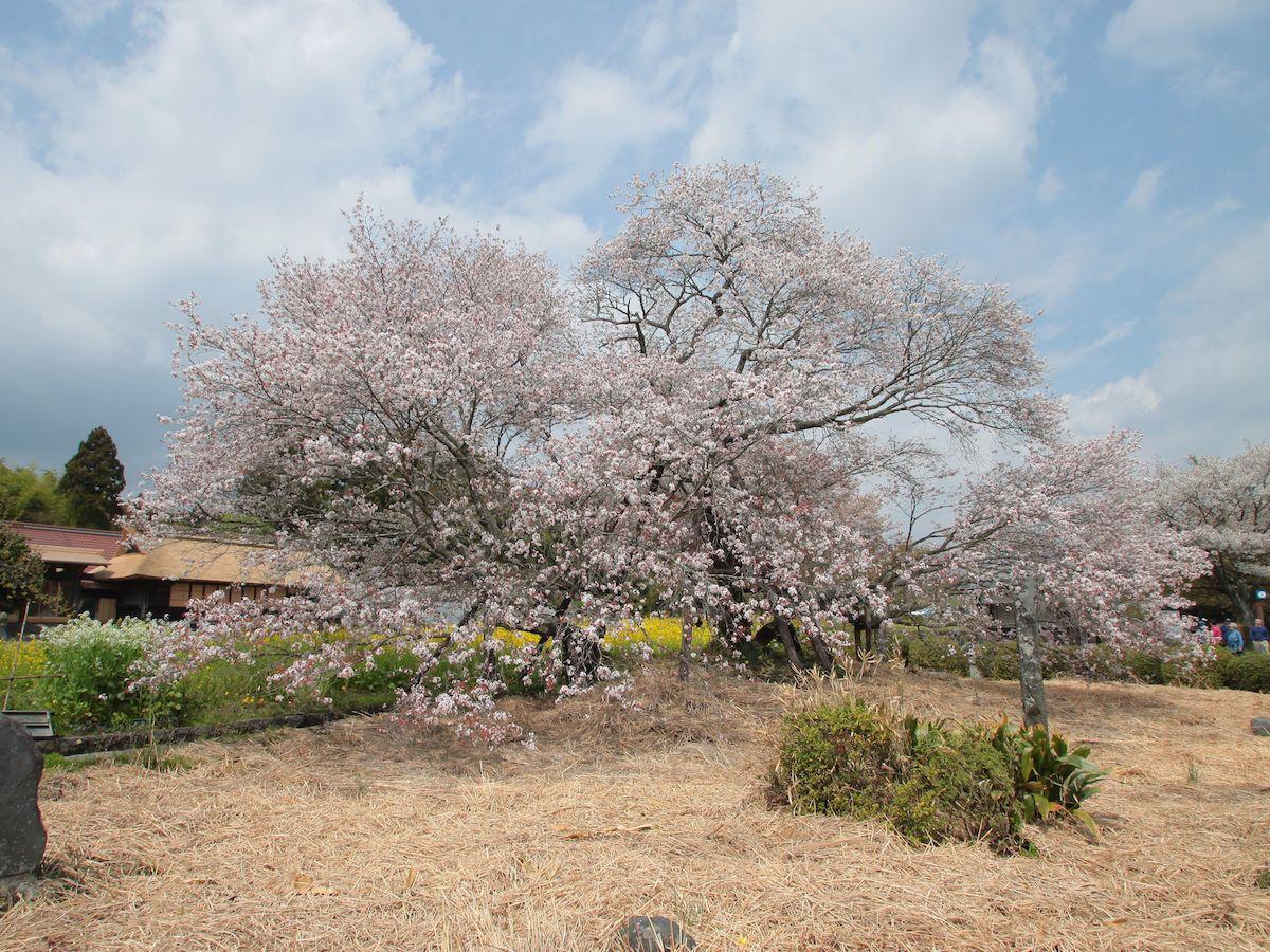 「狩宿の下馬桜」