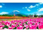 富士山2合目で「天空のチューリップ祭り」 34品種・20万本が咲き誇る