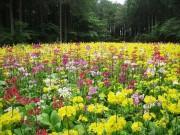 富士宮市「富士花鳥園」でクリンソウ5万株咲き誇る 開花期間は6月下旬まで
