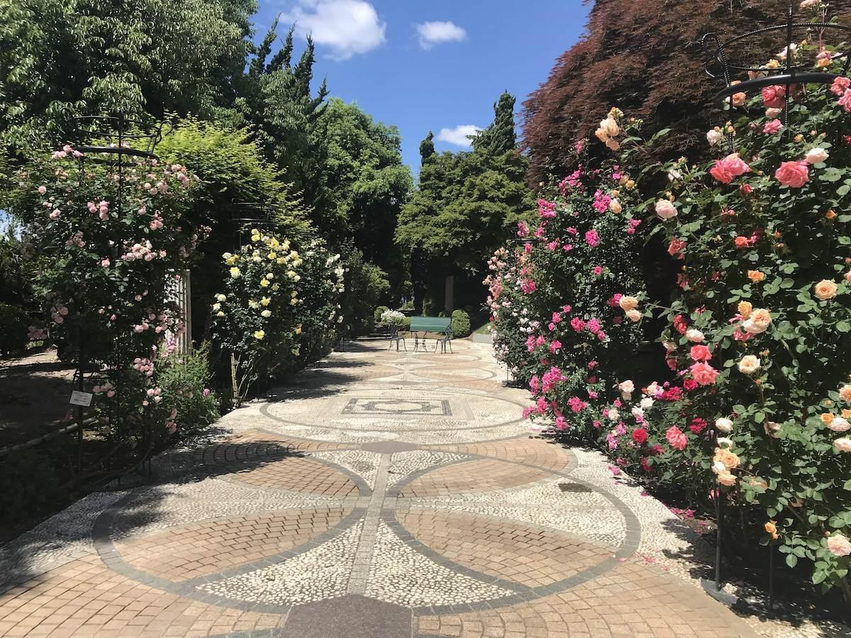 同園のバラ