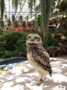 富士花鳥園でアナホリフクロウのひなの名前募集中 6月から公開中