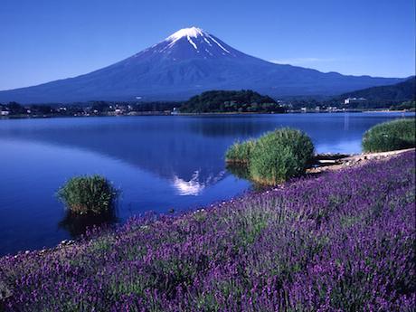 河口湖湖畔に咲き誇るラベンダー