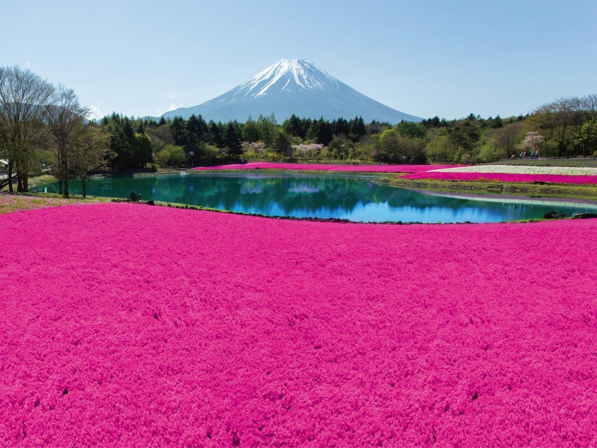 富士本栖湖リゾートで「富士芝桜まつり」過去開催時の様子