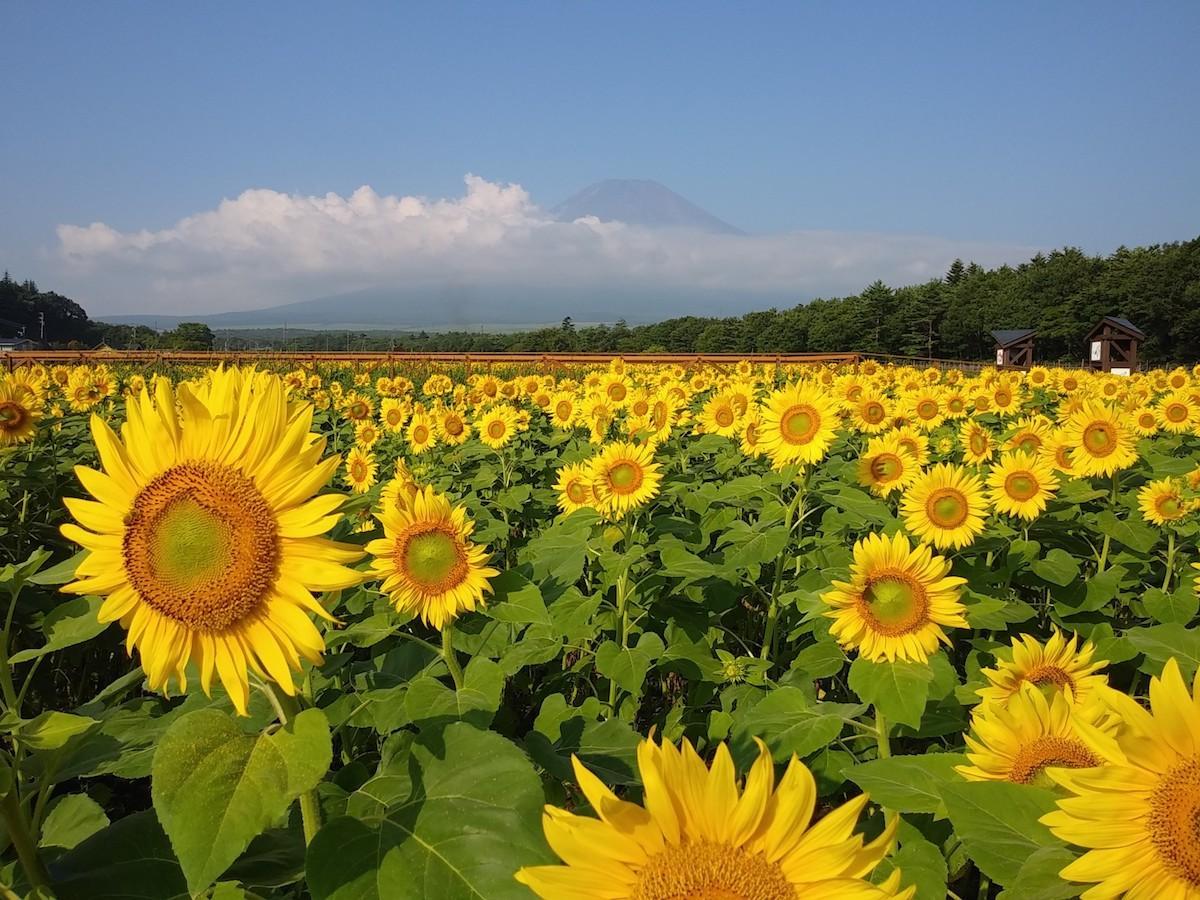 花の都公園で見頃を迎えたヒマワリ畑(8月3日撮影)