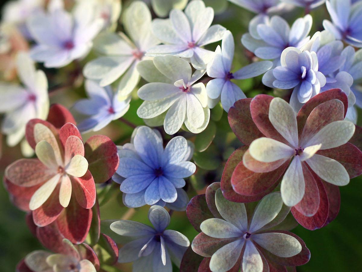 秋色アジサイへと移り行く色の変化が多彩だというアジサイ品種「佳澄」