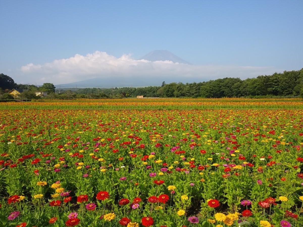 百日草畑(昨年開催時)