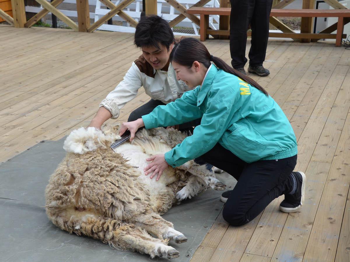 羊の毛刈り入社式(過去開催時の様子)