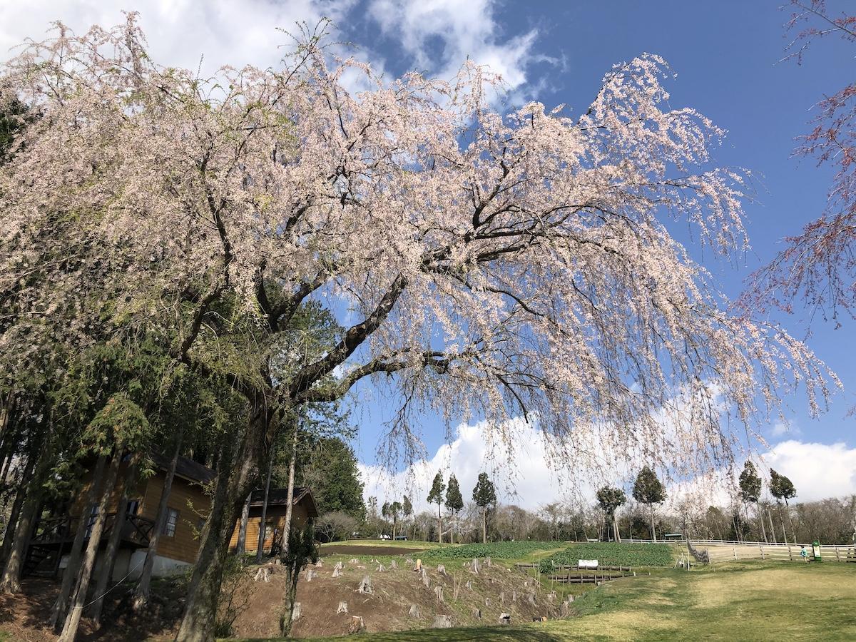 「まかいの牧場」のしだれ桜