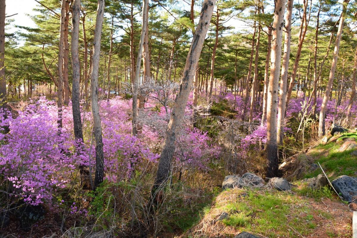 赤松林に自生するツツジ群