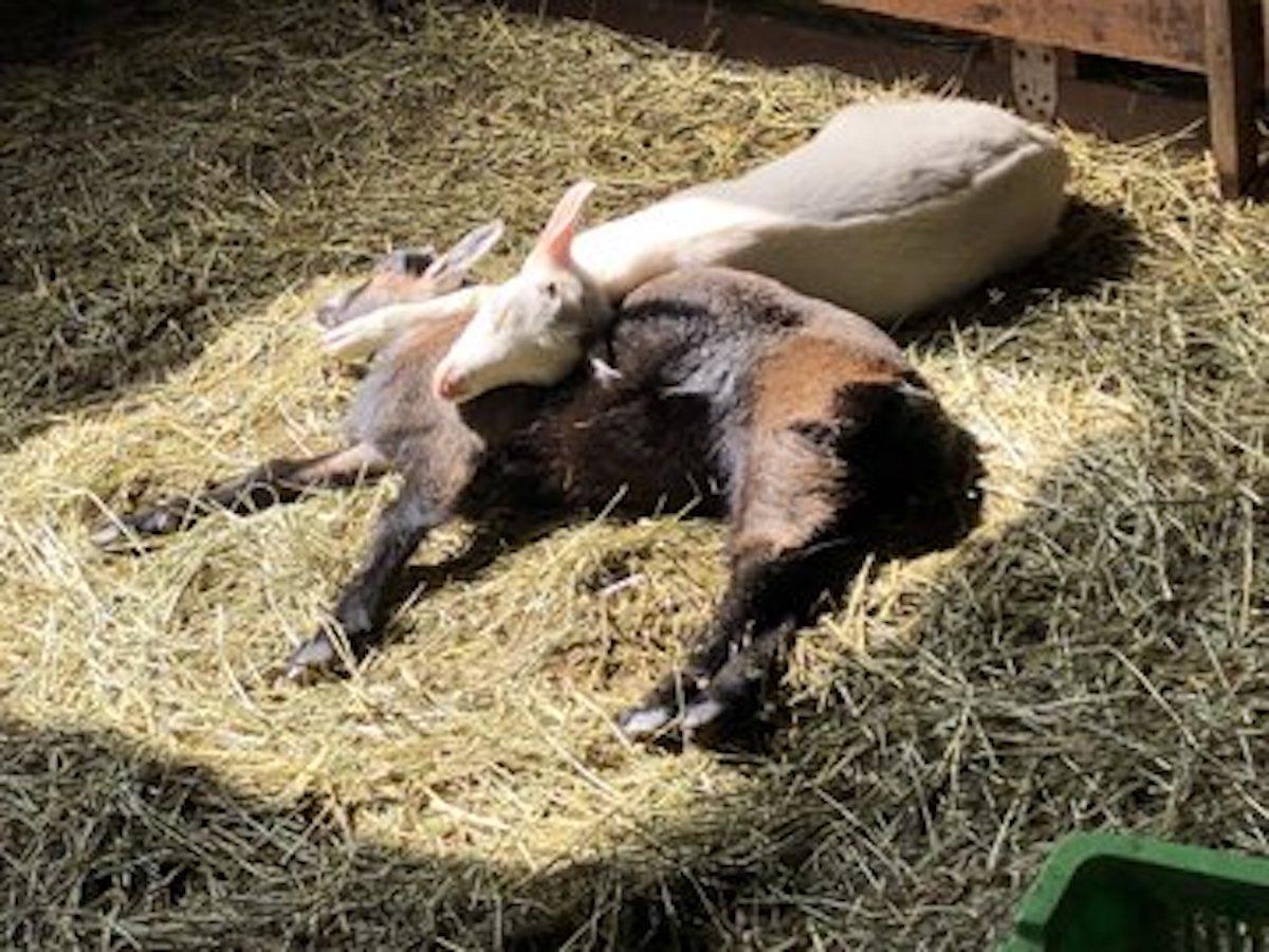 まかいの牧場の仔ヤギ