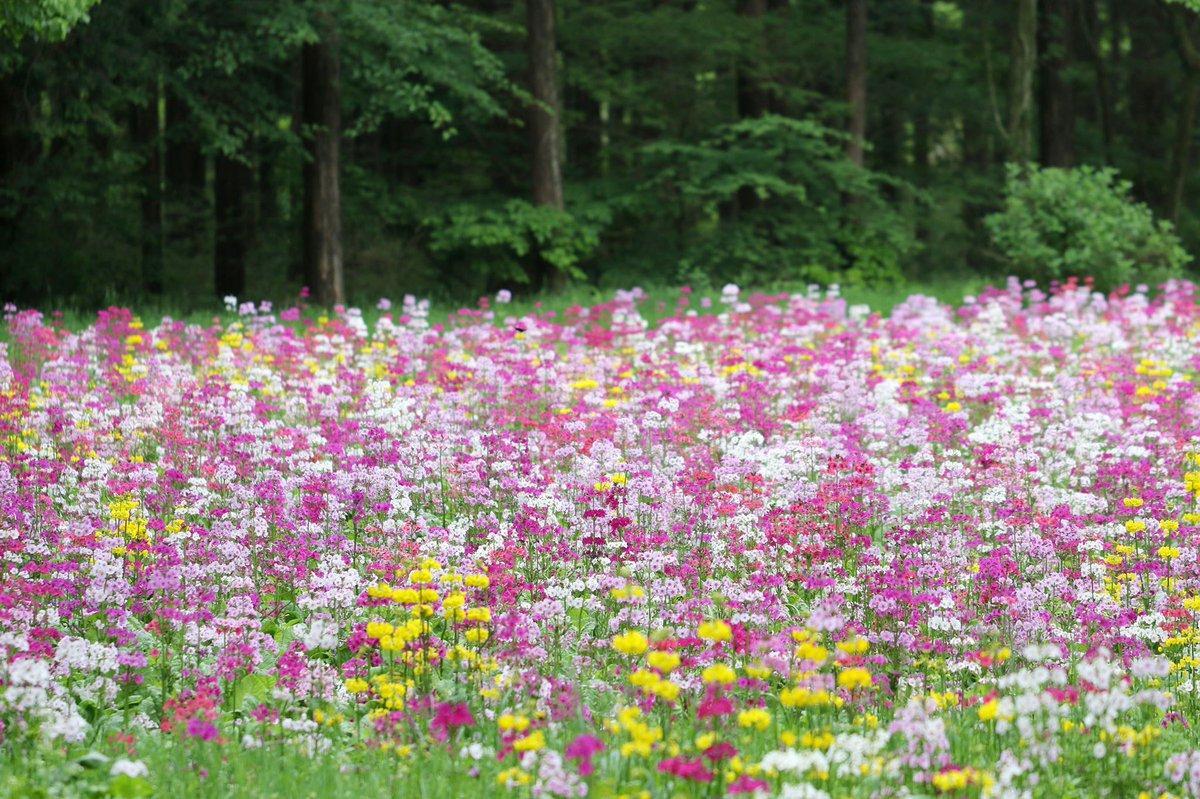 富士花鳥園のクリンソウ畑