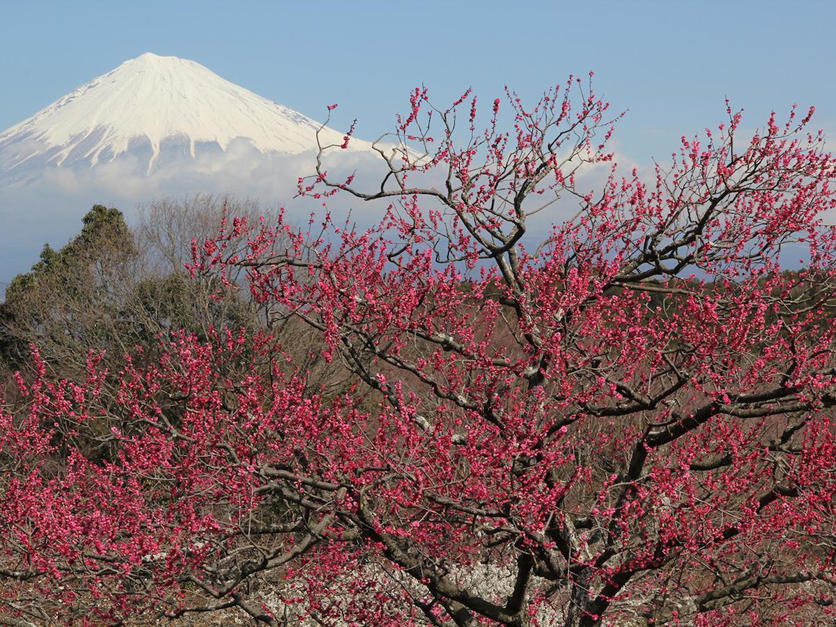 岩本山公園から望む富士山と梅