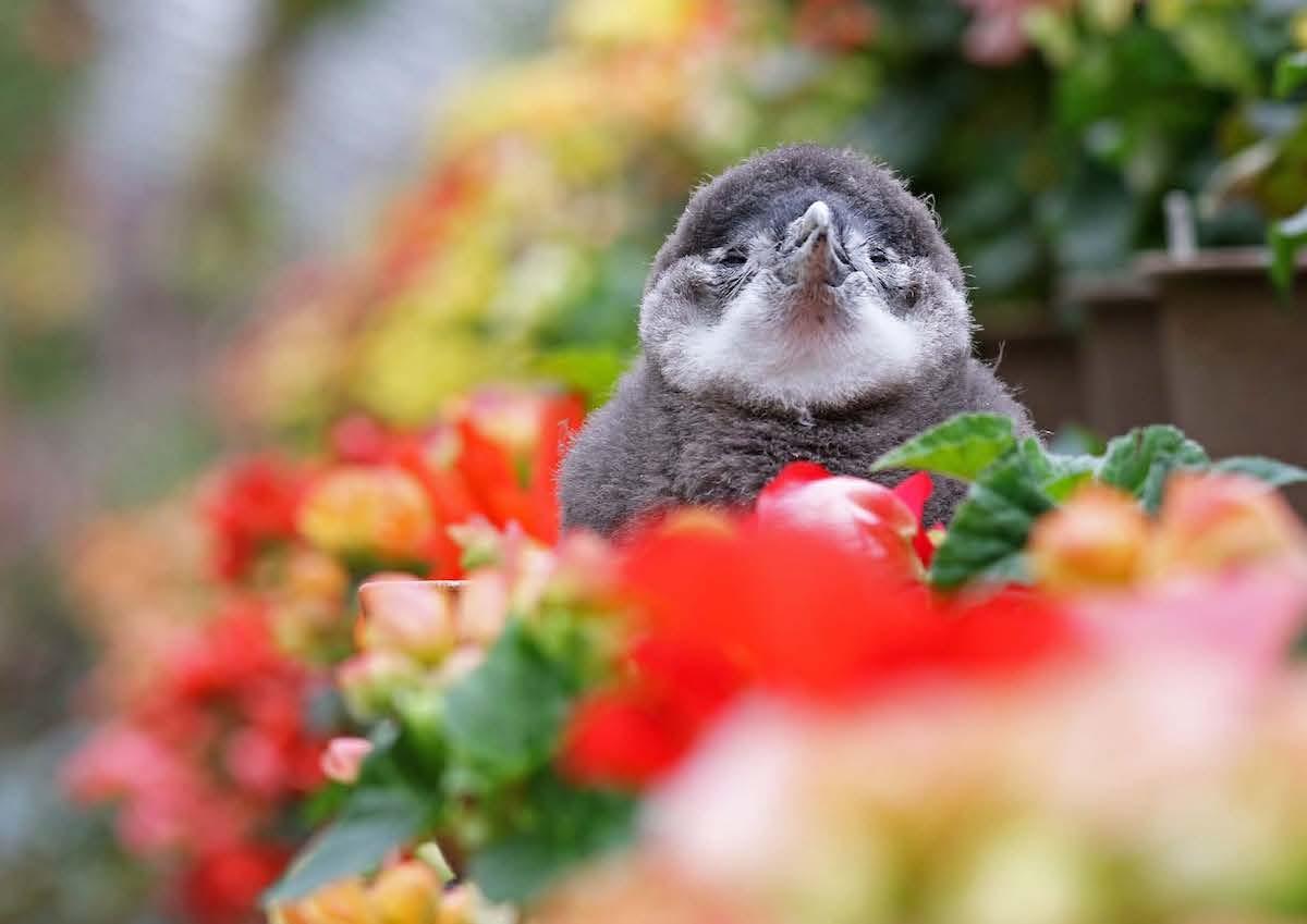 ケープペンギンの赤ちゃん「ひなペン」
