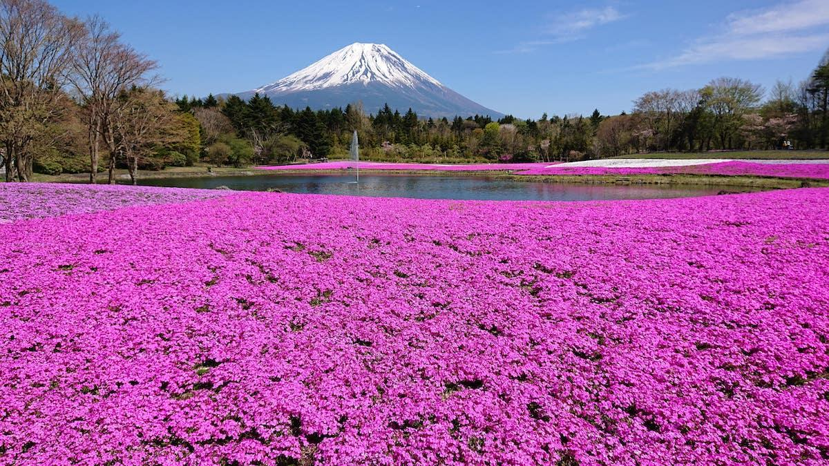 「富士芝桜まつり」過去開催時の様子