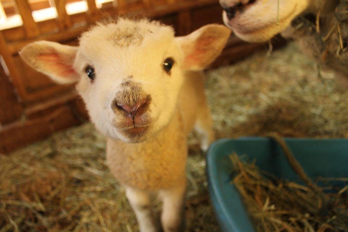 1月19日生まれのヒツジの赤ちゃん。いつも母親のマーチにぴったりくっついていて、甘えん坊なのが特徴