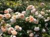 富士市立博物館で「博物館まつり」-市内最大級2000株のバラが見頃に