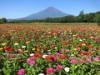 山中湖の花の都公園、百日草が満開に-摘み取り体験も
