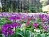 富士宮市「富士花鳥園」でクリンソウ3万株咲き誇る 一番の見頃は6月上旬