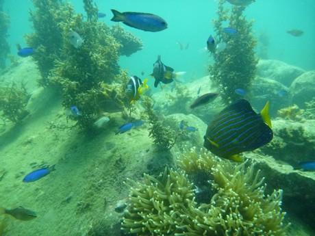 高島海水浴場で見ることができる熱帯魚の群れ