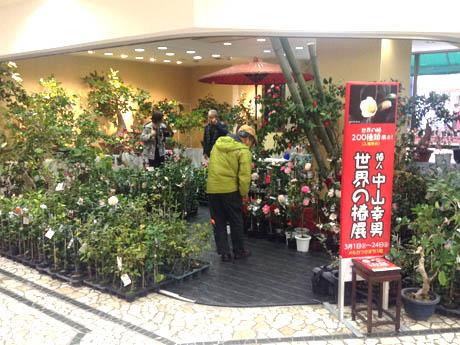 長崎・メルカつきまちで「世界のツバキ展」 主催者はツバキ一筋50年