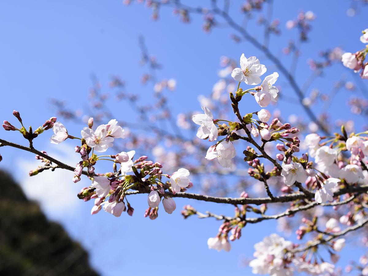 花がほころびはじめた桜(長崎市さくらの里付近)