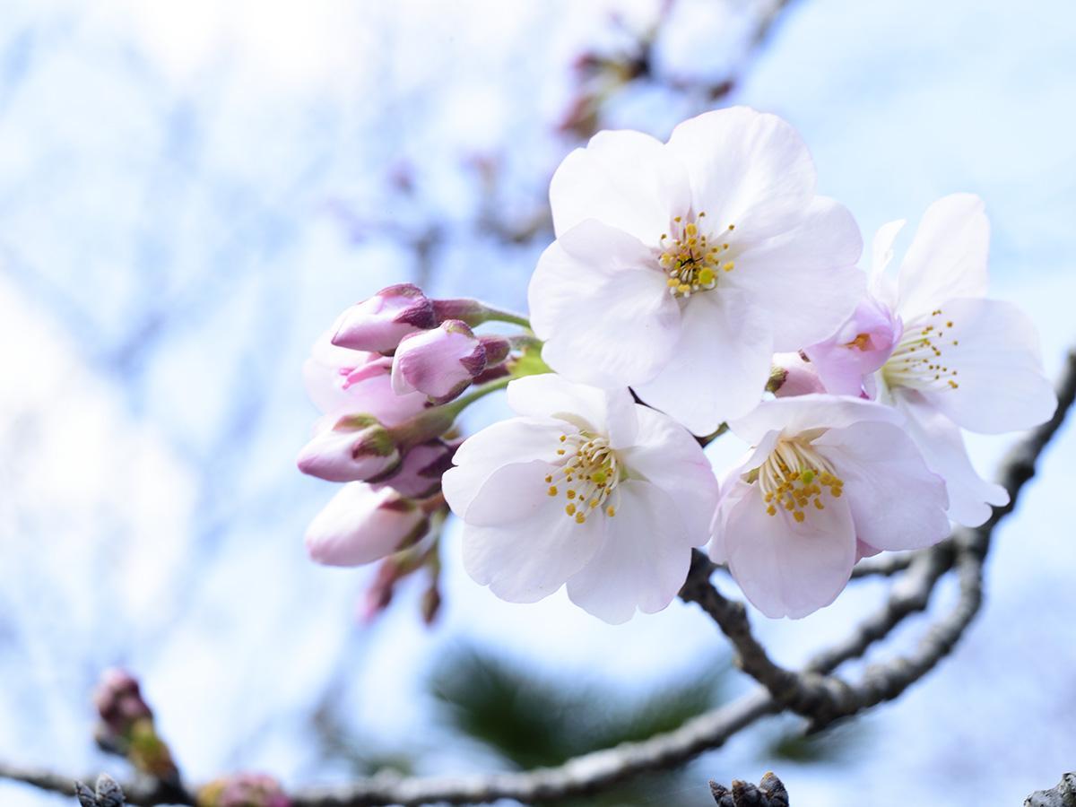 青空のもと開花した桜(長崎市三京町ダム付近)