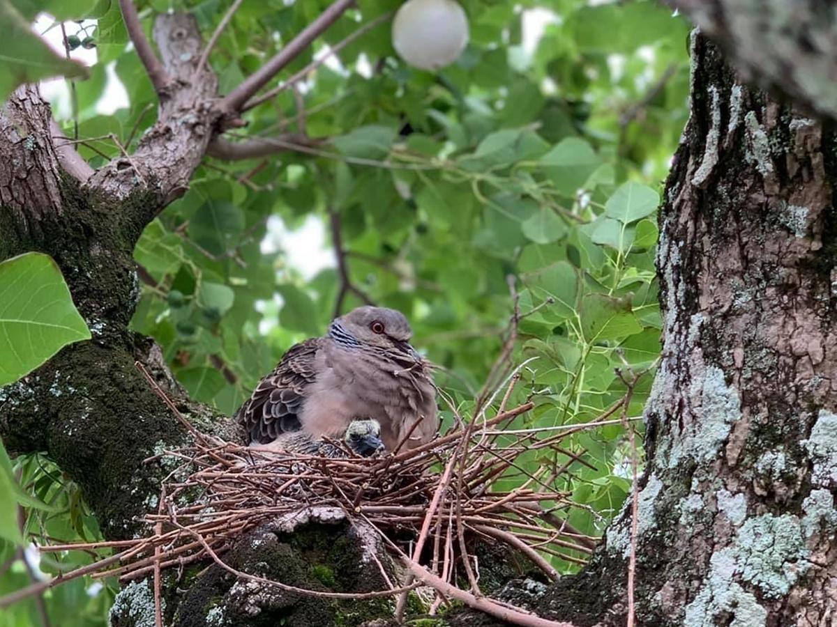 店前の街路樹に巣をかけたハト