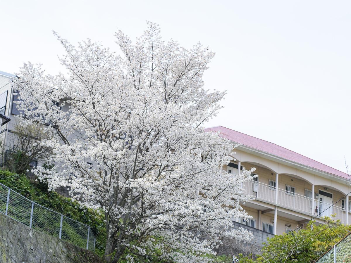 一足先に満開を迎えようとしている滑石2丁目の桜の木