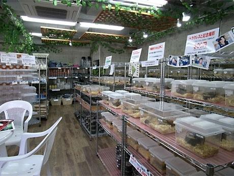 ヘラクレスオオカブトをはじめ、7色に輝くニジイロクワガタ、エナメルのようなつやのあるタランドゥスオオツヤなど他店にない種類もそろえる(写真=店内)