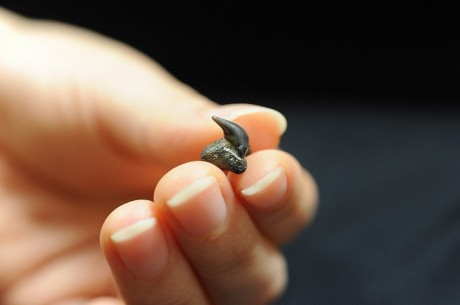 沖縄で発見された「メガマウスザメ」の歯の化石(写真提供=沖縄美ら島財団)