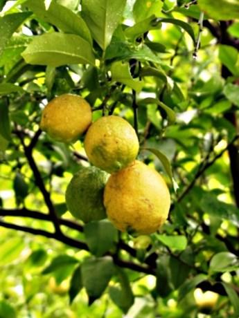 瀬戸内に浮かぶ岩城島がテーマ、写真は岩城島のレモン