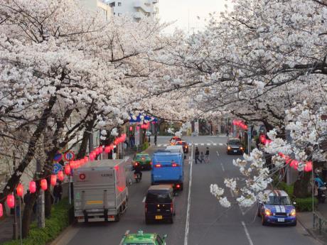 春には満開となる中野通りの桜(新井薬師公園付近の歩道橋から撮影)